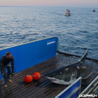 Mary Lee (Credit: OCEARCH)
