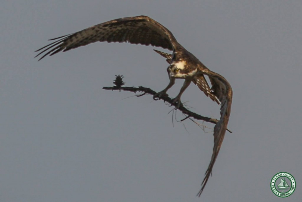 Ospreys returning to Ocean County. (Photo: Ocean County Department of Parks and Recreation)