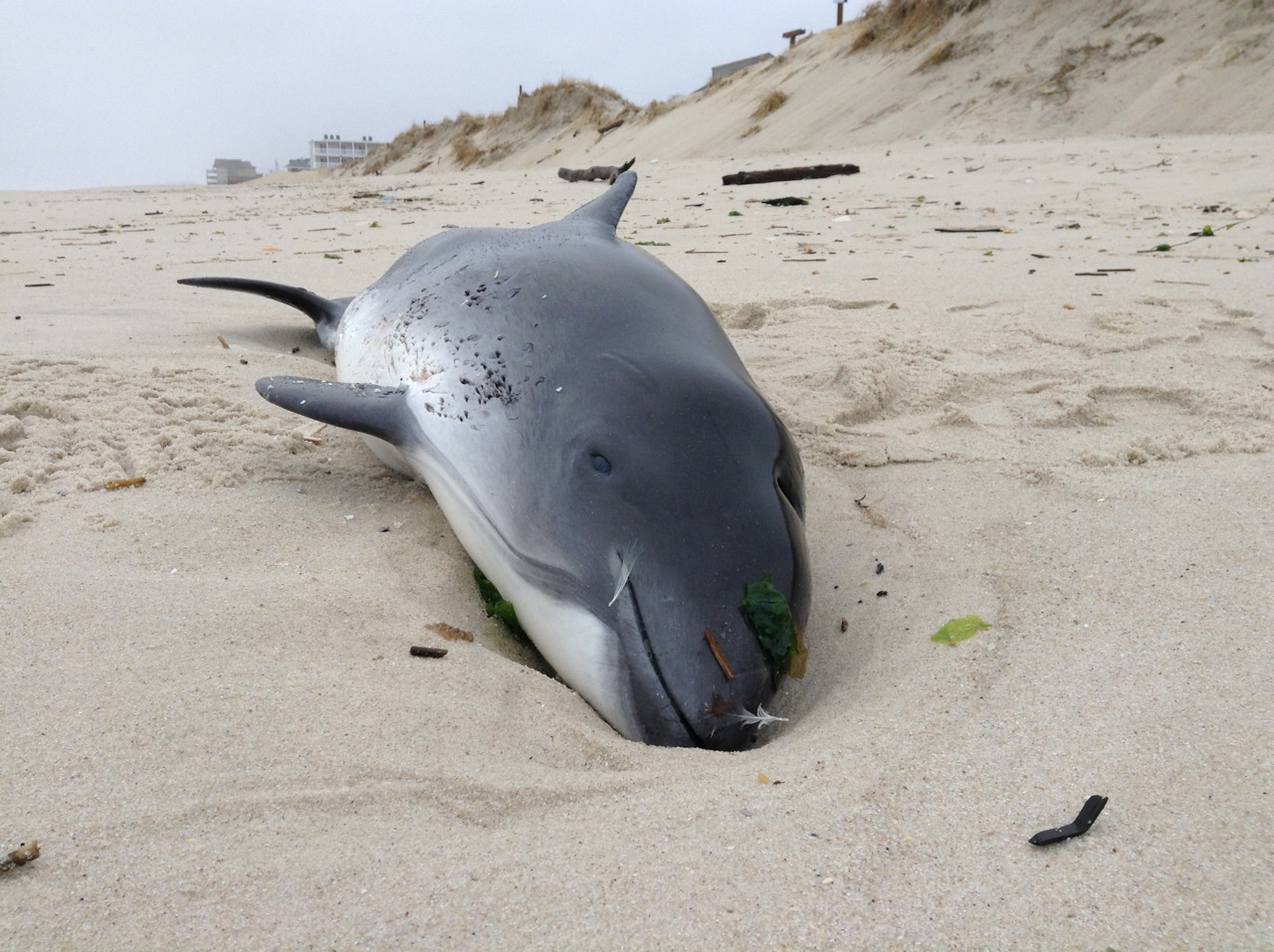 A marine mammal washed up on the beach in Lavallette, March 15, 2016. (Submitted Photo)