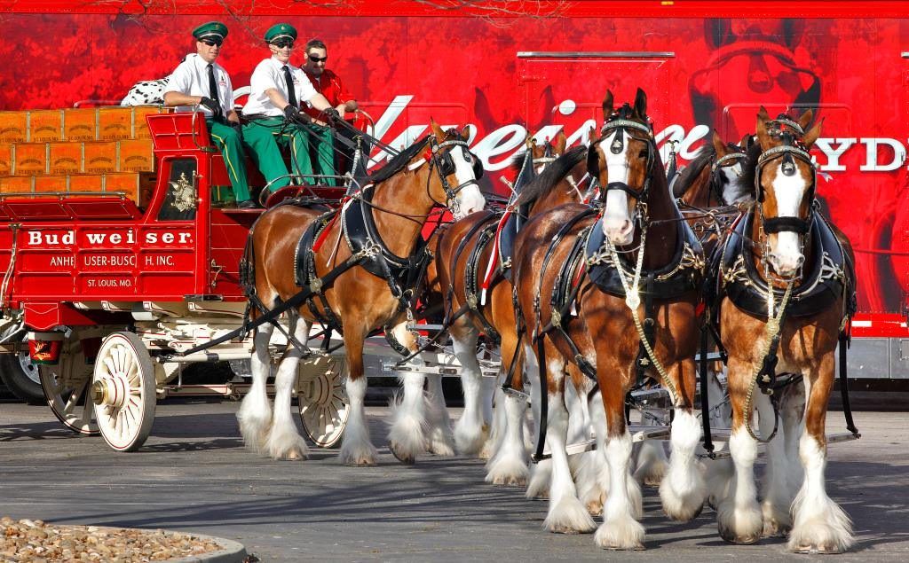 Budweiser Clydesdales (File Photo)