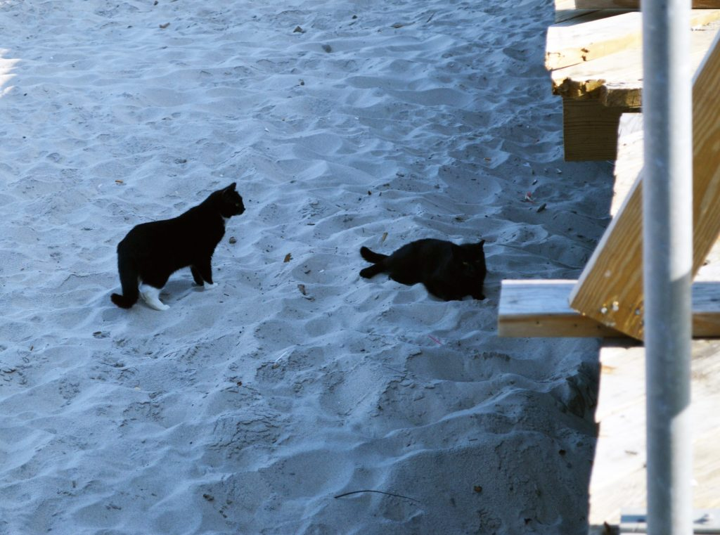 Feral cats on the Seaside Heights beach at Grant Avenue. (Photo: Rachael Bowen)