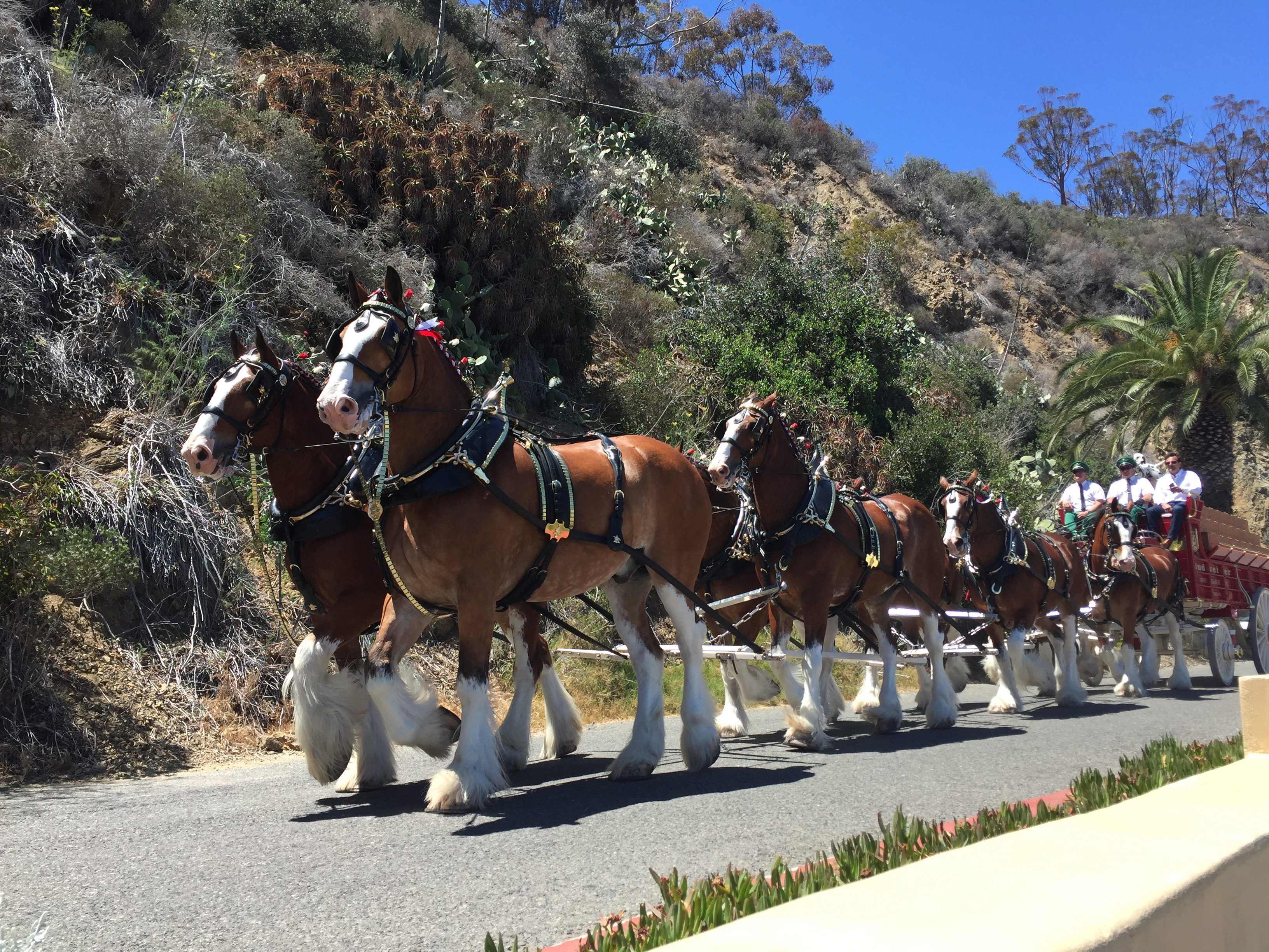 The Budweiser Clydesdales in Avalon, CA (Catalina Island) July 3, 2016. (Photo: Daniel Nee)