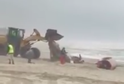 A whale is removed from the beach in Chadwick Beach, Toms River, April 26, 2017. (Credit: Barnegat Bay Island/Facebook)