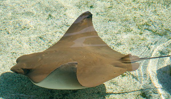 Cownose Ray (Photo: Aquarium of the Pacific)