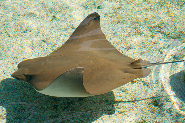 Cownose Ray (Photo: Aquarium of the Pacific)