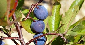 Beach Plum (Photo: Cornell University)