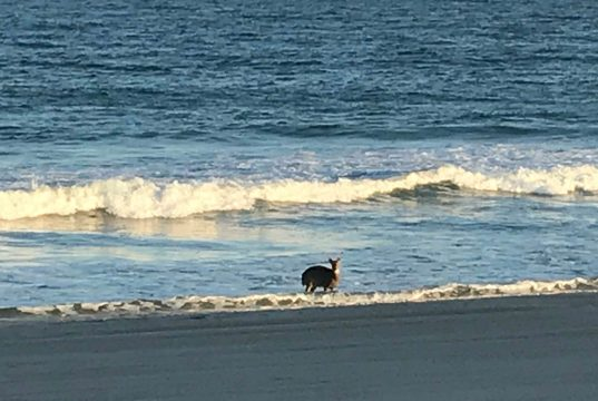 A deer on the beach in Seaside Heights, N.J., Oct. 18, 2017. (Photo: Daniel Nee)