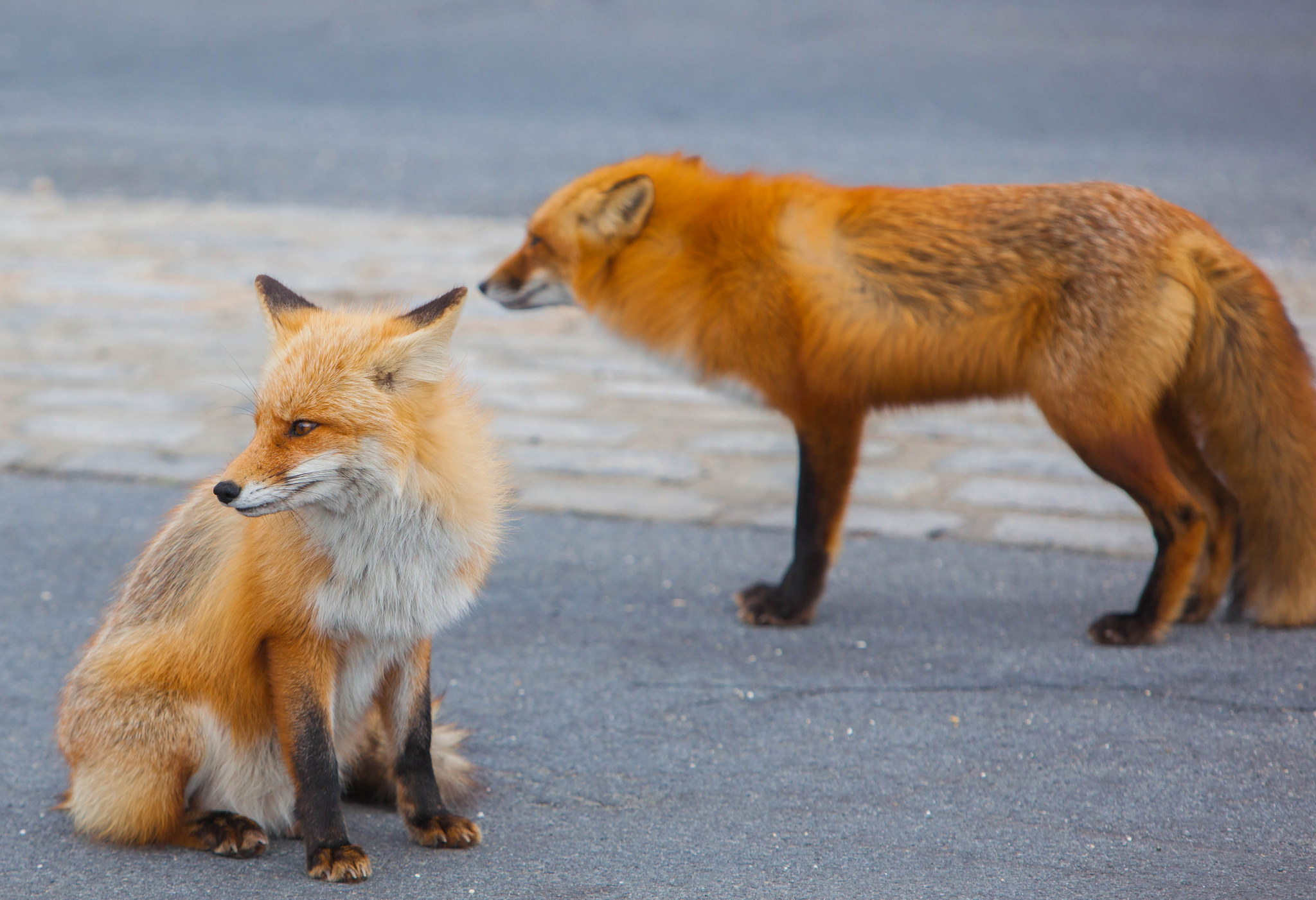 Red foxes at Island Beach State Park. (Credit: Anthony Quintano/ Flickr Creative Commons)