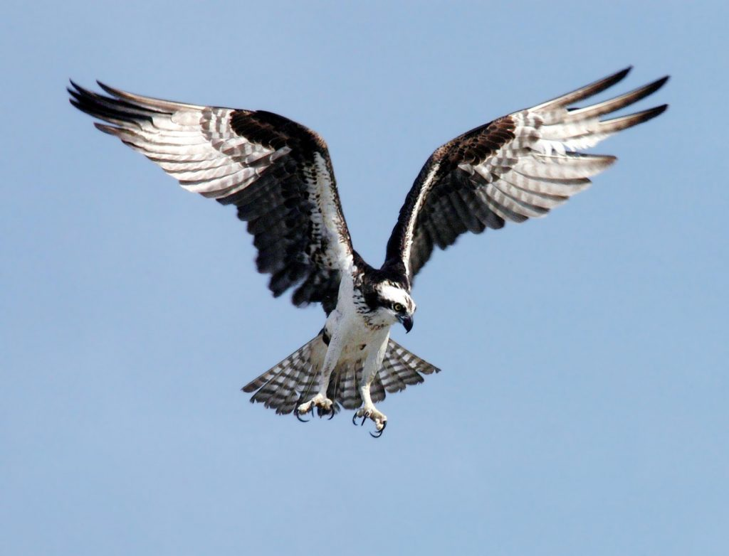 Osprey (Credit: National Parks Service)