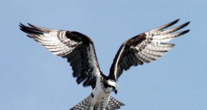 Osprey (Credit: National Parks Service)