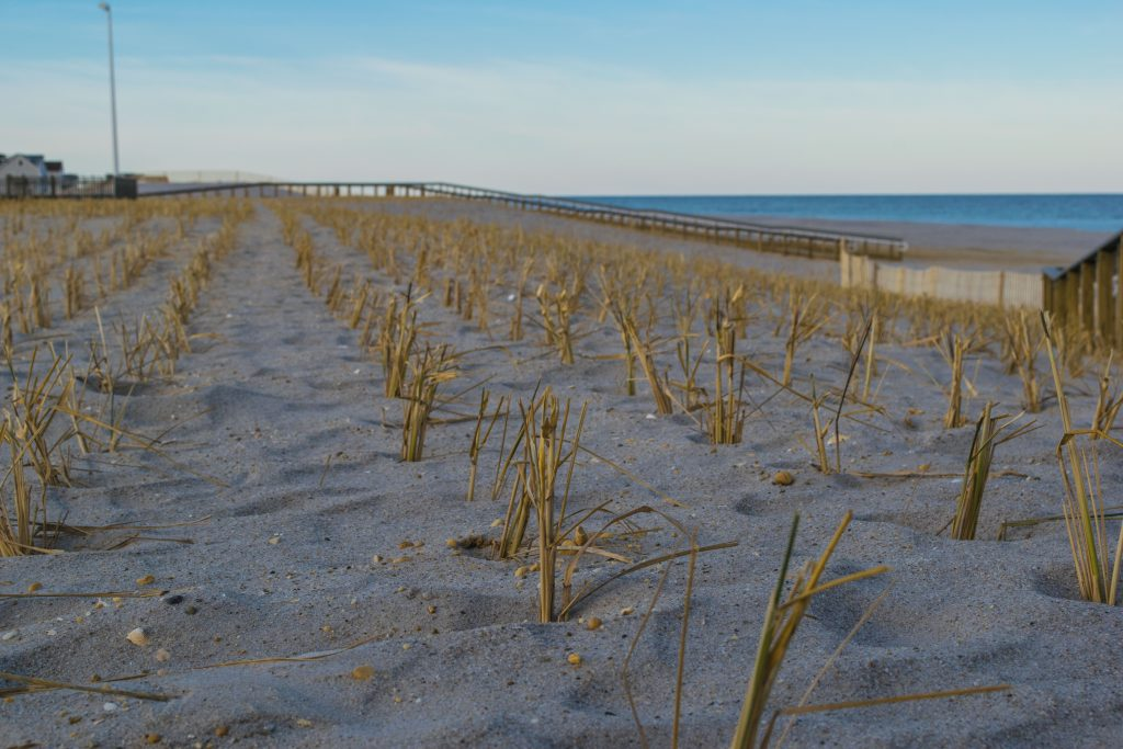 Dune grass plantings and progress on building access on replenished beaches island-wide, Feb. 2019. (Photo: Daniel Nee)