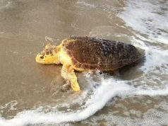 The 50th sea turtle rehabilitated by Sea Turtle Recovery enters the ocean. (Photo: Sea Turtle Recovery)
