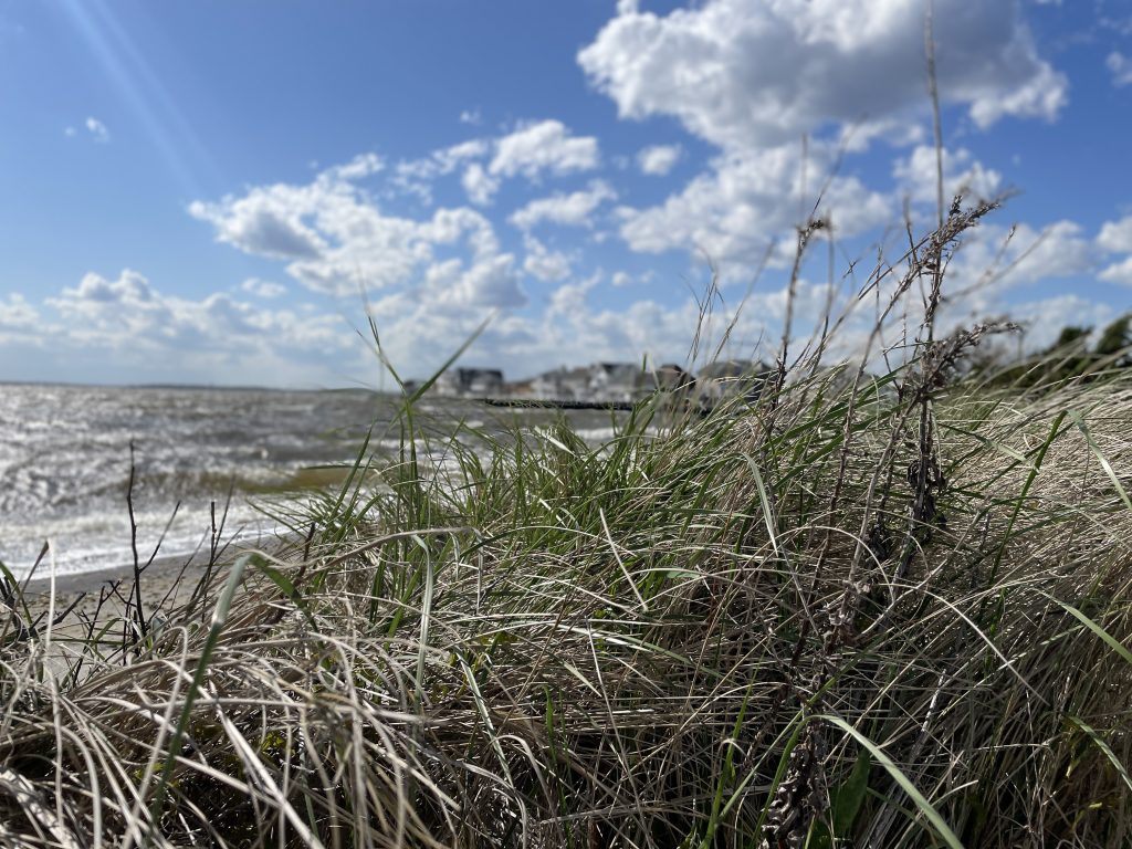 Dune grass whipped up by high winds, April 20, 2021. (Photo: Daniel Nee)