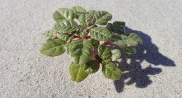 Seabeach amaranth. (Credit: U.S. Fish and Wildlife Service)